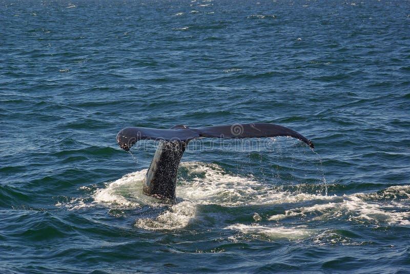 Coda 3 della balena fotografia stock