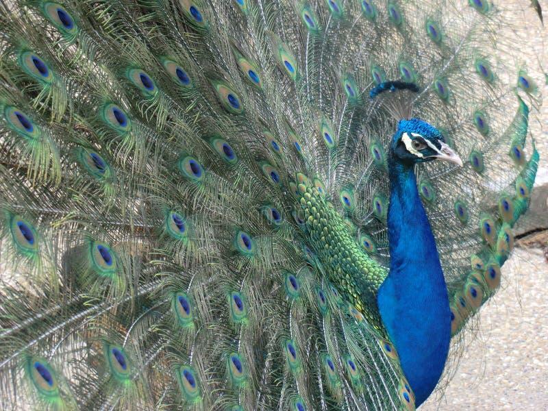Coda aperta del pavone immagini stock libere da diritti