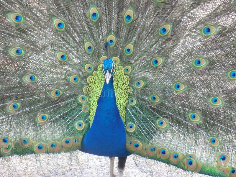 Coda aperta del pavone immagini stock