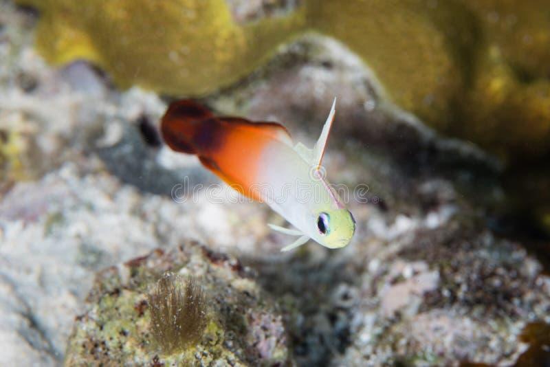 Coda Dartfish del fuoco immagine stock