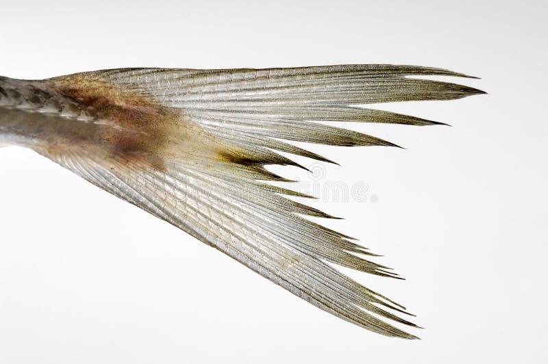 Coda dei pesci fotografia stock