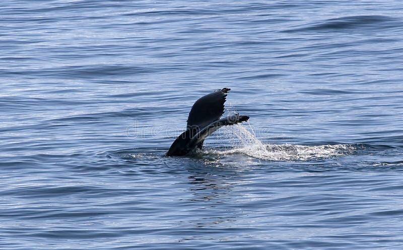 Coda del humpback immagini stock libere da diritti