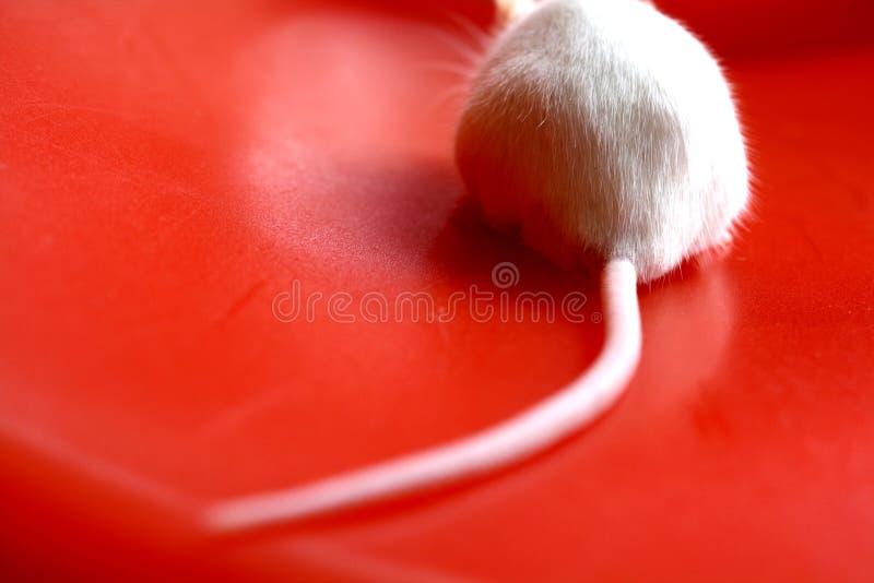 Coda del mouse immagini stock