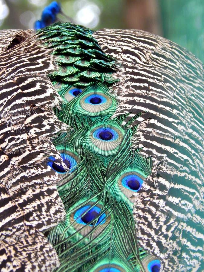 Coda del pavone fotografie stock
