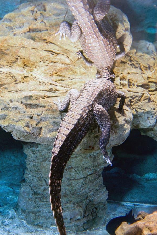 Coda del ritratto subacqueo dell'alligatore del coccodrillo fotografie stock libere da diritti