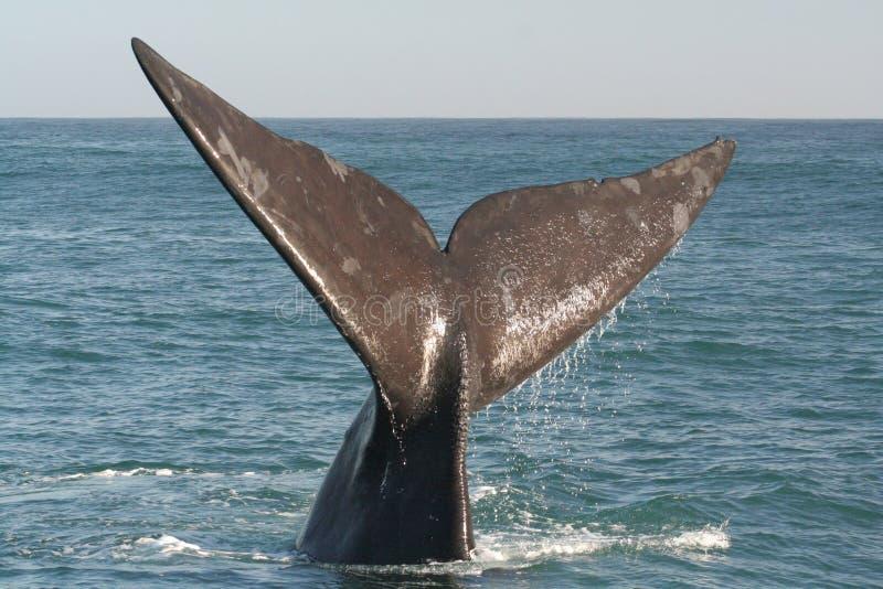 Coda del sud della balena di destra immagine stock libera da diritti