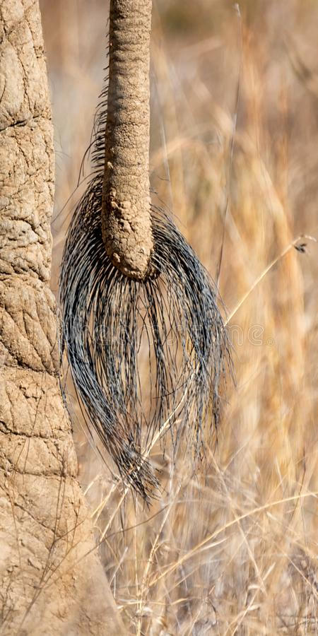 Coda dell'elefante africano fotografie stock libere da diritti