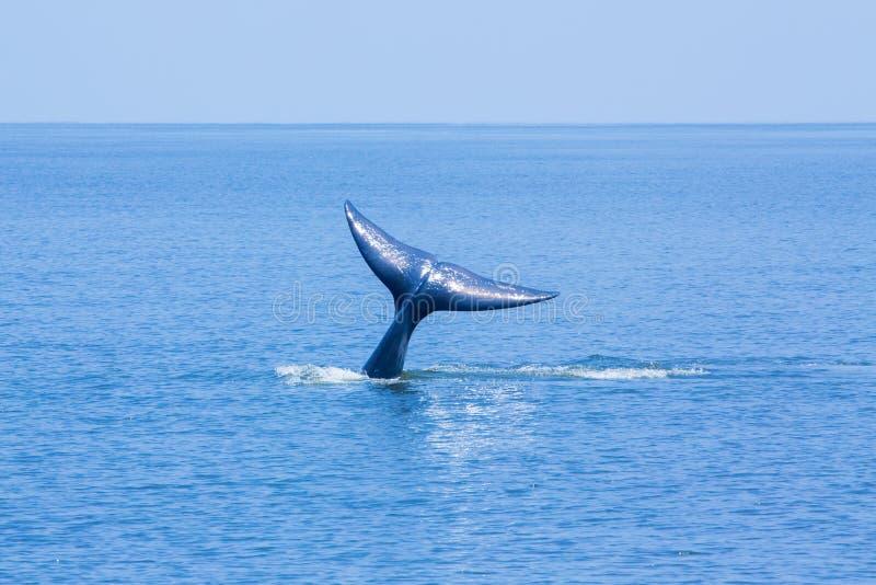 Coda della balena immagini stock libere da diritti