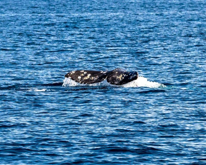 Coda della balena fotografia stock libera da diritti