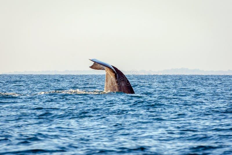 Coda della balena blu immagine stock