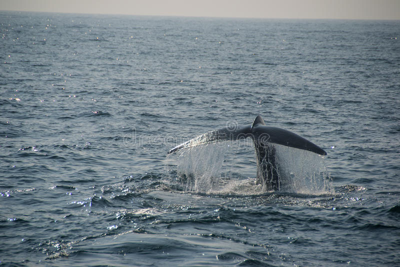 Coda della balena blu fotografia stock