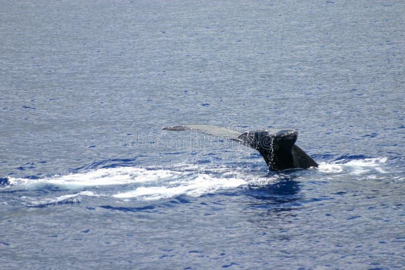 Coda della balena di Humpback fotografia stock libera da diritti