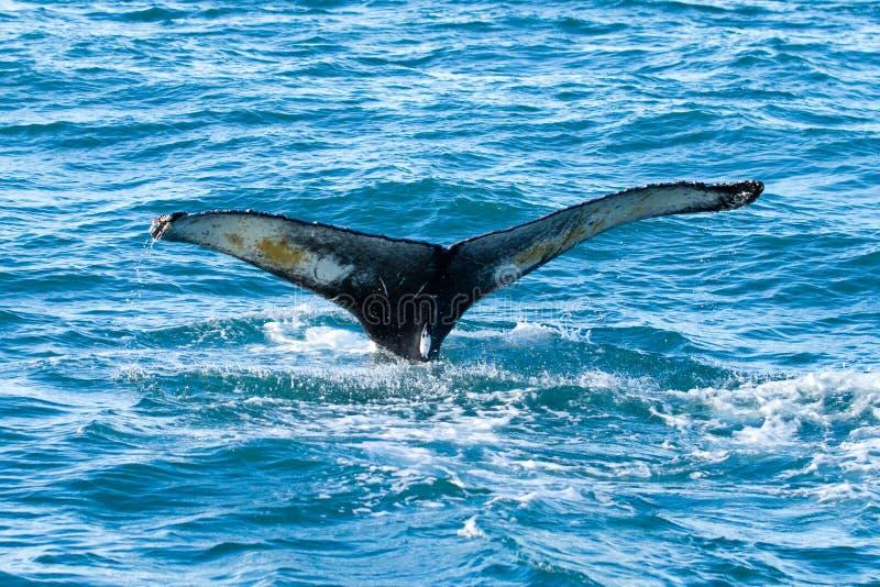 Coda della balena di Humpback fotografie stock libere da diritti