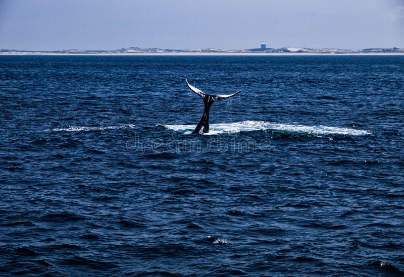 Coda 2 della balena di Humpback fotografia stock