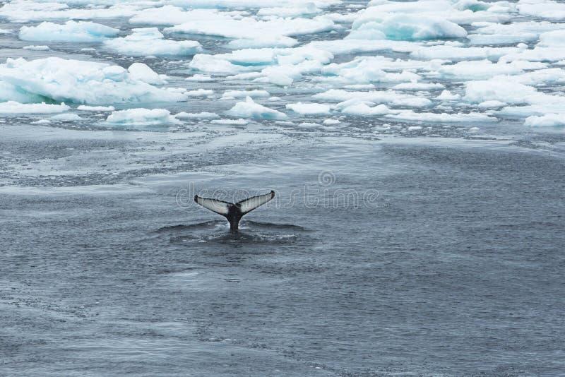 Coda della balena fra ghiaccio fotografia stock libera da diritti