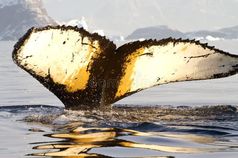 Coda della megattera che si tuffa le acque antartiche su un'estate soleggiata fotografie stock libere da diritti