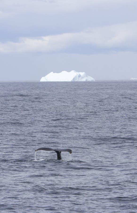 Coda della megattera con l'iceberg fotografia stock