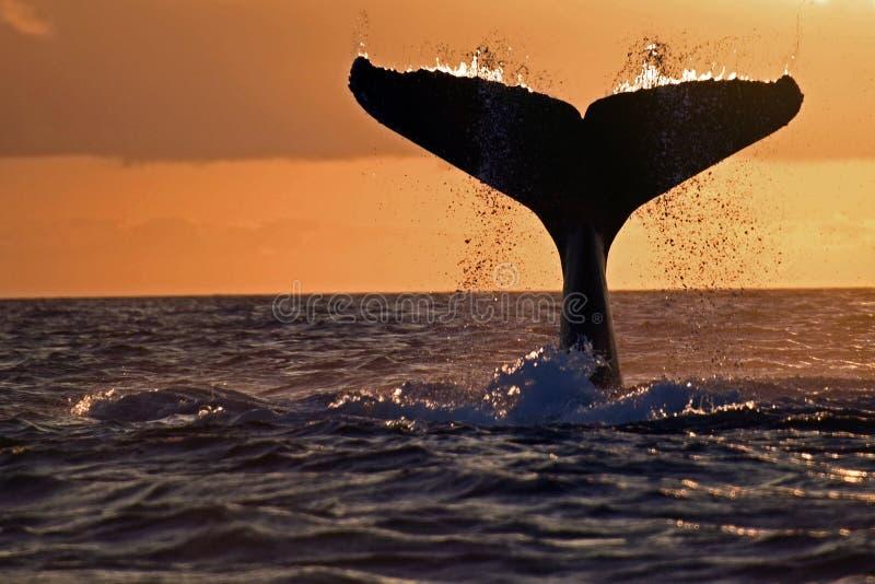 Coda della megattera, Galapagos immagine stock