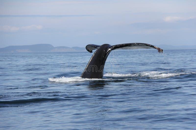 Coda della megattera nel San Juan Islands immagini stock libere da diritti