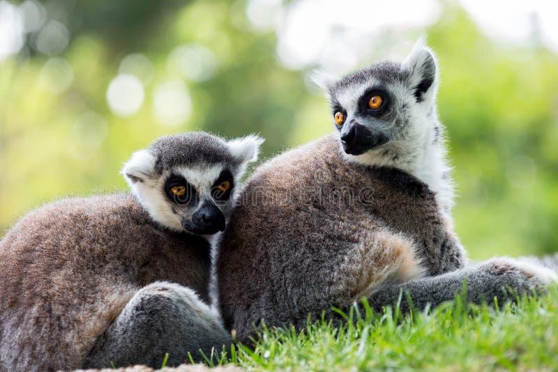 Coda delle lemure fotografia stock libera da diritti