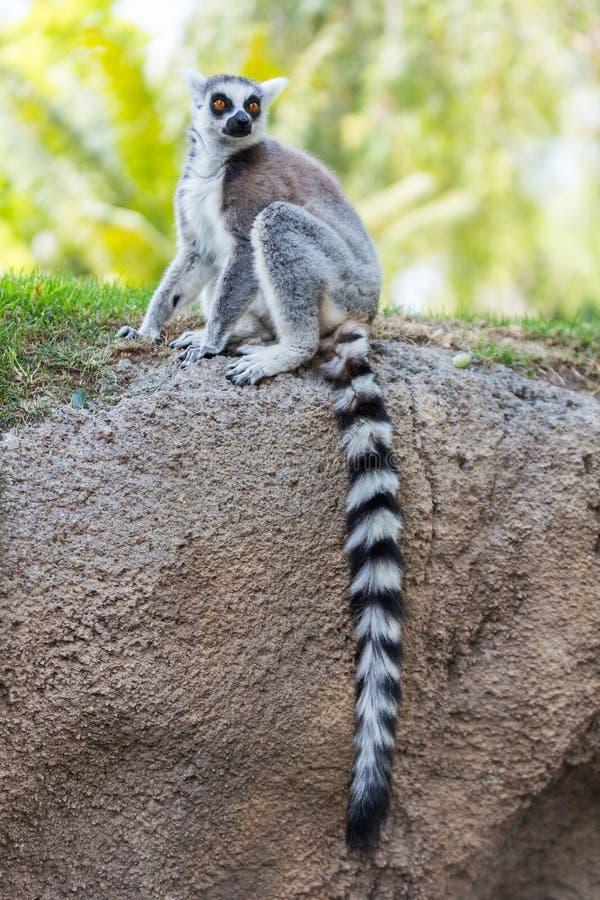 Coda delle lemure fotografie stock
