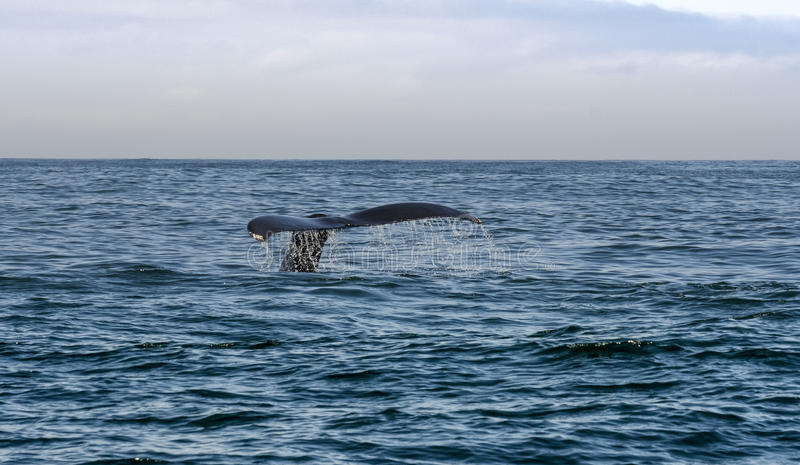 Coda di nuoto della balena nel mare fotografie stock libere da diritti