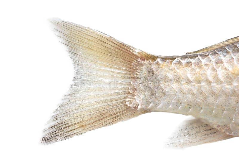 A coda di pesce su un fondo bianco Macro fotografia stock