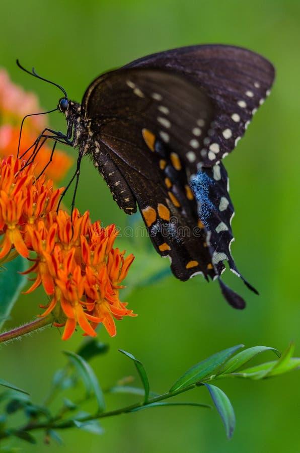Coda di rondine di Spicebush sull'erbaccia di farfalla fotografia stock