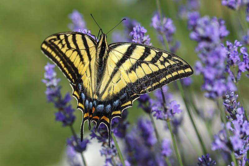 Coda di rondine gialla sui fiori del lavedanr immagine stock libera da diritti
