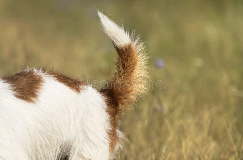 Coda di un cucciolo del cane di animale domestico di russell della presa fotografia stock libera da diritti