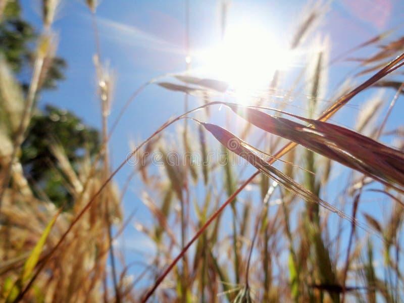 Coda di volpe alla luce solare di mattina fotografia stock