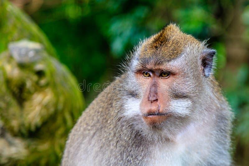 A coda lunga adulto o macaco di Granchio-cibo, colpo capo, foresta della scimmia, Ubud, isola di Bali, Indonesia fotografie stock
