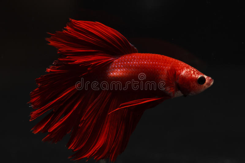 Coda lunga rossa pura del pesce di combattimento della Tailandia fotografia stock libera da diritti