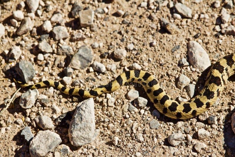 Coda modellata variopinta del serpente fotografie stock libere da diritti