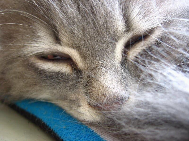 Coda nascosta di menzogne di sonno lanuginoso grigio del gatto fotografie stock