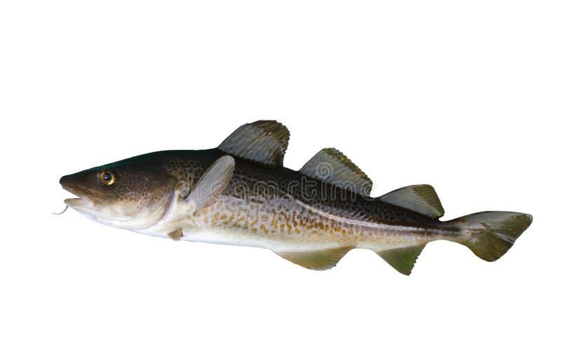 Codfish zdjęcia royalty free
