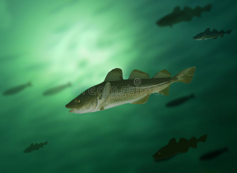 Codfish royaltyfria bilder