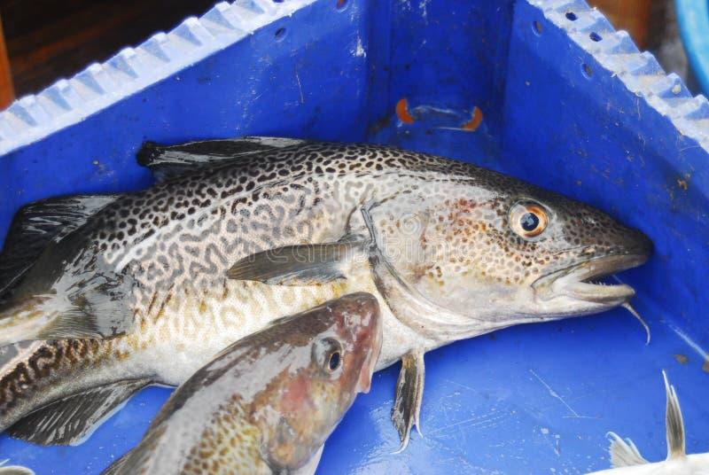 codfish fotografia stock