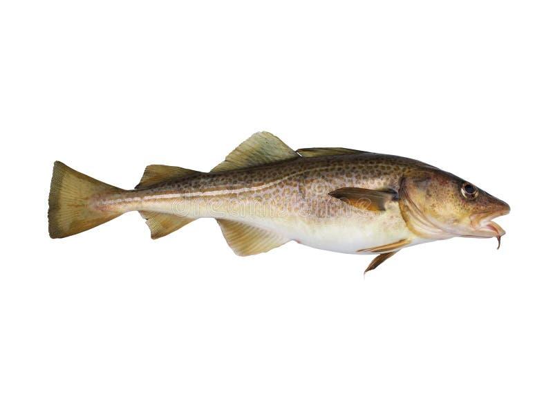 codfish obraz royalty free