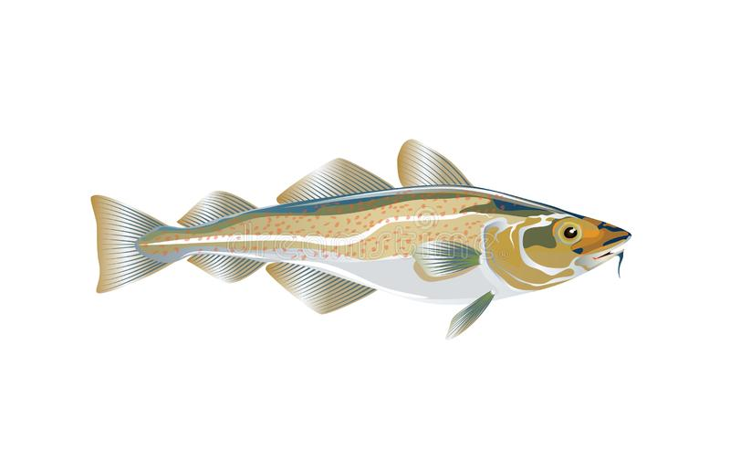 Codfish. Cod atlantic, vector illustration with details and optimized specks to be used in packaging design, decoration,. Educational graphics, etc. Eps 10 royalty free illustration