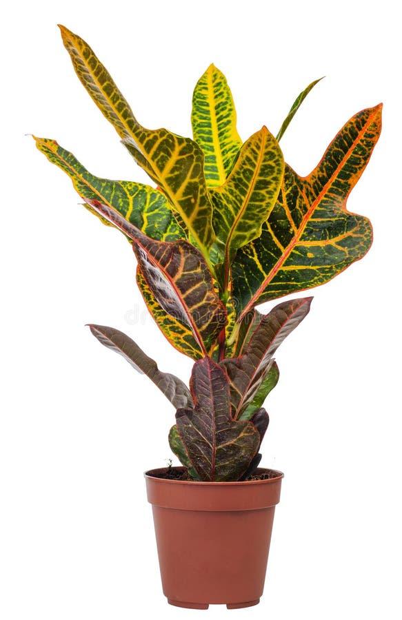 codiaeum室内植物混合 免版税库存照片