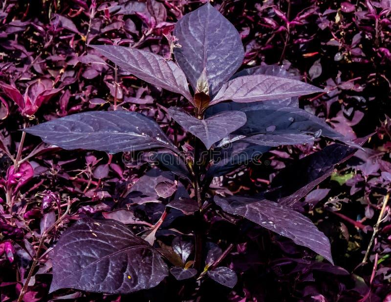 Codiaeum, Croton, pflanzen wächserne kastanienbraune Blattnahaufnahme lizenzfreie stockbilder