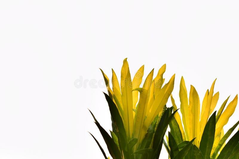 Codiaeum variegatum 库存照片