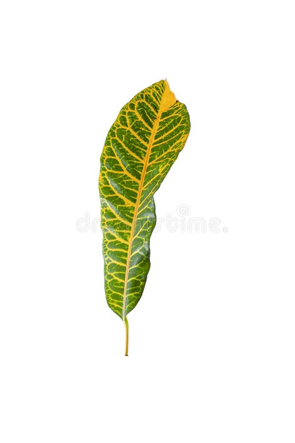 Tropical leaf plants codiaeum variegatum white background. Codiaeum variegatum tropical leaf plants codiaeum variegatum white background plants in the form of royalty free stock photo