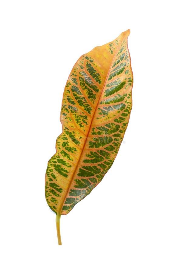 Tropical leaf plants codiaeum variegatum white background. Codiaeum variegatum tropical leaf plants codiaeum variegatum white background plants in the form of stock photos