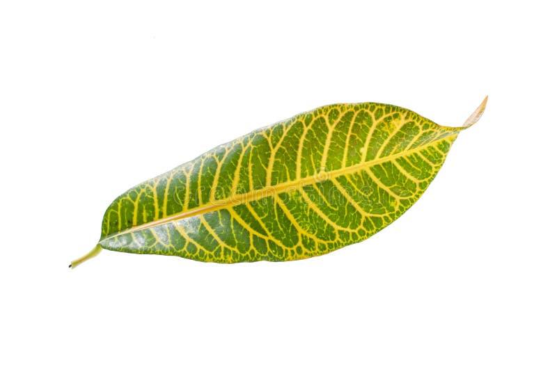 Tropical leaf plants codiaeum variegatum white background. Codiaeum variegatum tropical leaf plants codiaeum variegatum white background plants in the form of stock photography