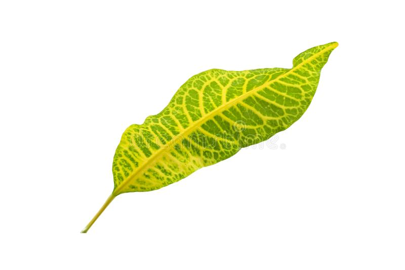 Tropical leaf plants codiaeum variegatum white background. Codiaeum variegatum tropical leaf plants codiaeum variegatum white background plants in the form of stock photo