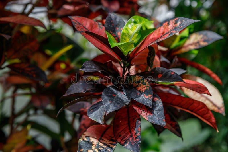 Codiaeum variegatum Znakomity kolorowy, multicolor, i kształty liść tekstury Ornamentacyjne ro?liny zamyka w górę, naturalny obrazy stock