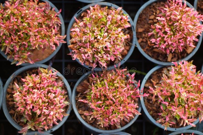 Codiaeumvariegatium (L ) Blume royalty-vrije stock afbeelding