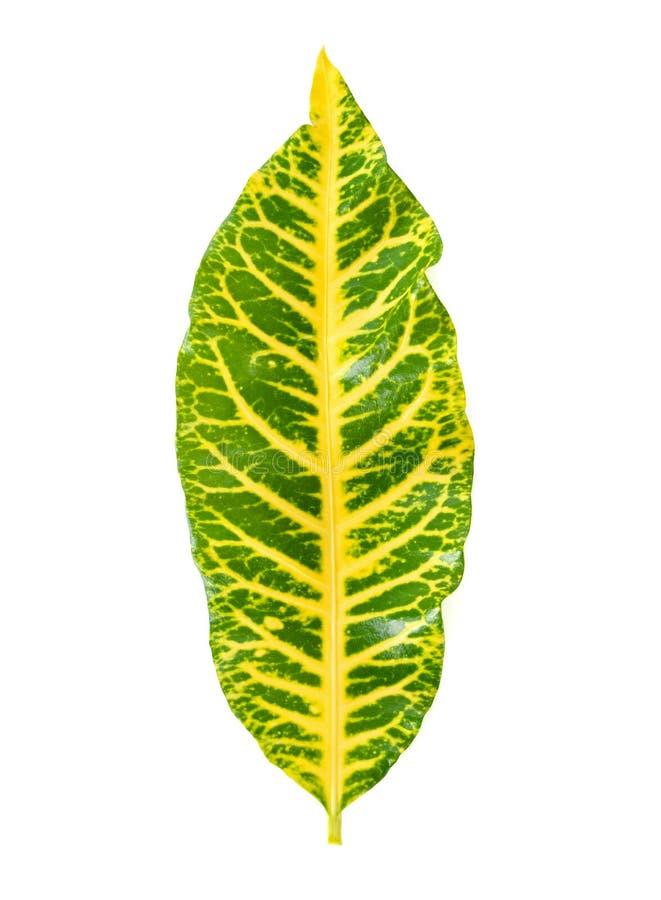 Codiaeumvariegatium L Blume blad arkivbild